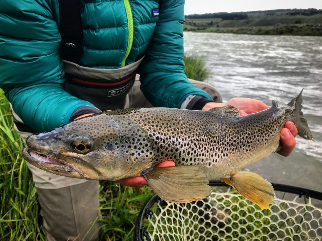 madison river fishing report 6-18-2017